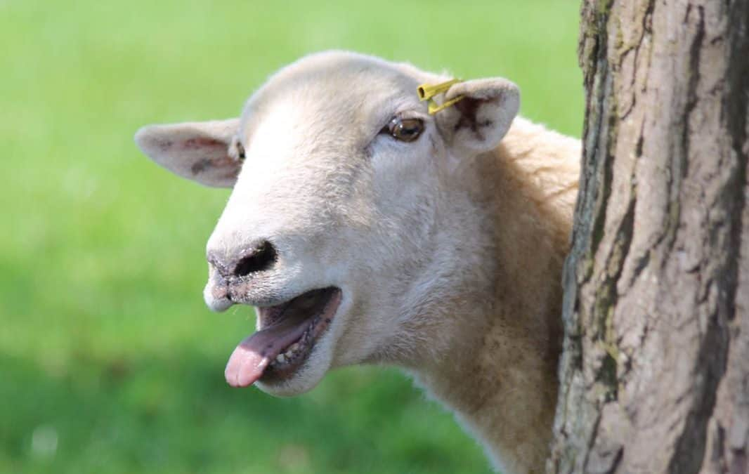 Laughing Sheep at Mickleton Hills Farm